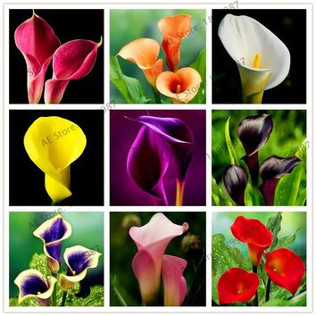 Big sale!Calla lily seeds,perennial potted plant  for home &garden decoration, easy to plant 100pcs/bag