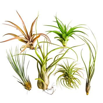 6pc X-Large Air Plant Tillandsia / Live Houseplants / 6 X-Large Air Plants Assorted Unique and Exotic Varieties 4 to 10 Inches
