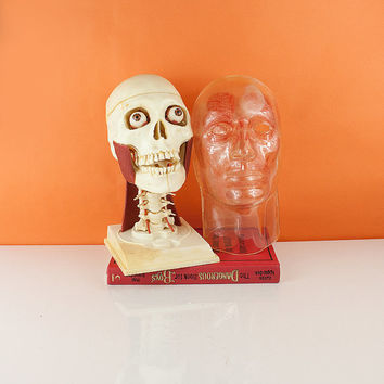Vintage Visible Head skeleton model