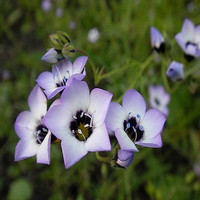 Gilia Birds Eyes Flower Seeds (Gilia Tricolor) 200+Seeds