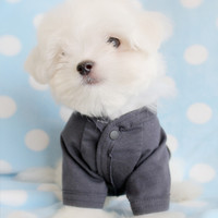Maltese Puppies For Sale in South Florida
