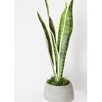 "Artificial Mother-In-Law's Tongue House Plant - 24"" Tall"
