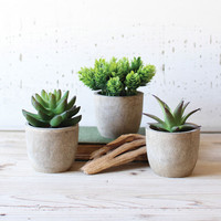 Shelf Ready Succulents - Set of 3