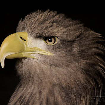 Eagle canvas, nature photography, bird canvas, fine art photography, oversized art, black canvas art, hawk, bird of prey, animal, Americana