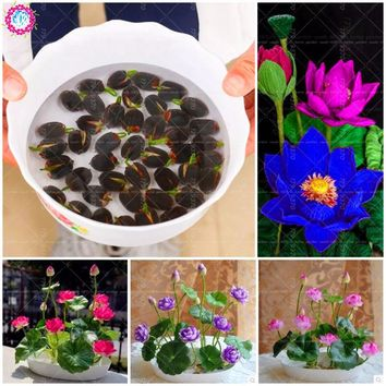 5Pcs Lotus  lotus flower  water lily for summer 100% Bowl lotus  potted plants for home garden Bonsai easy grow