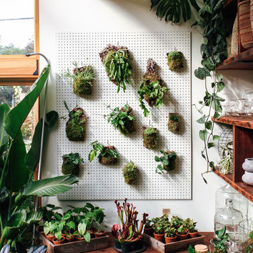 Vining Cork Mount - Mounted Hoya, Philodendron and Pothos Plants