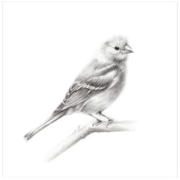 Bird (Chaffinch) Pencil Drawing Print