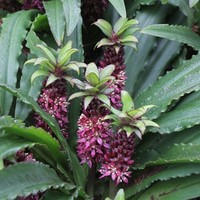 Eucomis 'Mini Tuft Red', Pineapple Lily, Eucomis, buy Eucomis Mini Tuft Red for sale, buy Pineapple Lily for sale