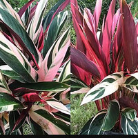 Variegated Tri Color Ginger Tropical Plant Red Green White Garden Houseplant Stromanthe 'Triostar'