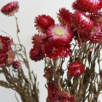 "Dried Strawflowers in Pink - 3 oz Bunch - 18""-20"" Tall"