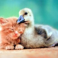 Cute Cat and Duckling Friends Kids Room Animal Art Print Poster (16x20)