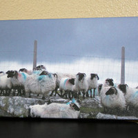 Irish Sheep Canvas Panoramic Photo Canvas 8x24 Fine Art Canvas Nature and Wildlife Photography