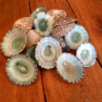 Green Limpet Shell