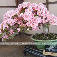 10PCS rare sakura seeds bonsai flower Cherry Blossoms Tree