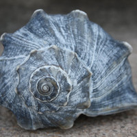 Blue Gray Whelk Conch Sea Shell Atlantic Ocean Authentic Beach 2215