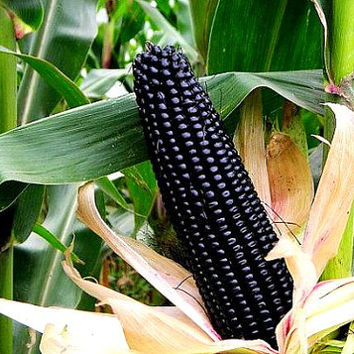 Aztec Black Corn, ancient heirloom, 50 seeds non GMO, early plants, black flint corn, blue corn meal, gorgeous