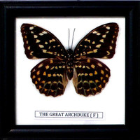 Real framed butterfly Display Rare Insect Taxidermy The French Duke Exotic Butterfly Display