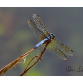 Color Photography - I Came, I Flew, I Conquered - fine art print, home decor, wall photo, dragonfly, damselfly, wings
