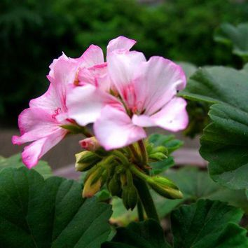 Geranium flowers seeds potted indoor plants and summer seasons kind of easy living garden bonsai flower seeds