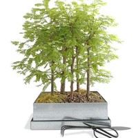 Redwood Forest Bonsai Kit