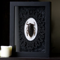 Giant Water Bug - Museum Glass Shadow Frame Display - Insect Bug Oddity Curiosity Art