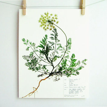 Herbarium Specimen Art PRINT, Real Pressed Botanical Print, Queen Anne's Lace, Scientific Art, Wild Carot, Wildflower, Plant with Roots