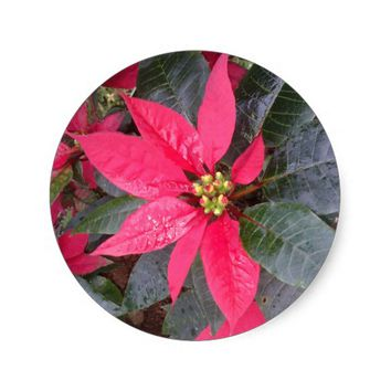 Sticker - Poinsettia - Christmas Pegatina Redonda