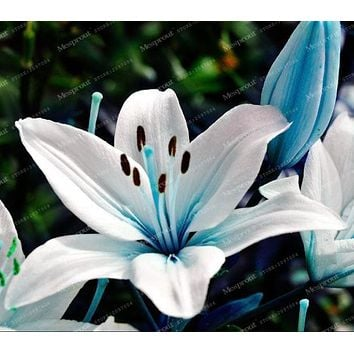 Specials Blue Heart Lily Plant Seeds Potted Bonsai Plant Rare Lily Flower Seeds For Home Garden 50 Particles / Lot