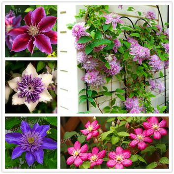 100pcs/bag Mixed color Clematis Seeds Clematis Hybridas Hanging bonsai Flowers perennial flowers climbing plants for home garden