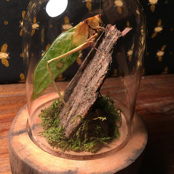 Giant Katydid-  Insect Taxidermy, Insect Specimen, Nature Display, Natural History, Unique Gift