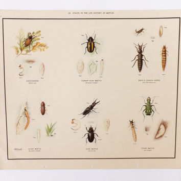 Beetles School Poster, Vintage School Chart, Home Decor, Macmillans Nature Class Posters, Vintage Poster, Frohawk