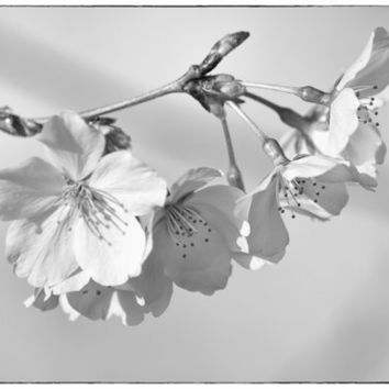 Cherry Blossoms B&W 8X12 Fine Art Print by NatureImagesByDesign