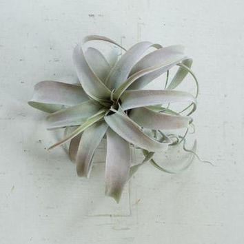 Set of 6 Extra Large Grey Air Plants