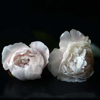 Still Life Photograph of Two Peonies from my Garden Black and White