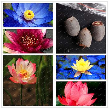 Beautiful Hydroponic Flowers Water Lily Seeds Mini Lotus Seeds Mixed Pink Blue White Colors 2 pcs Seeds for home garden
