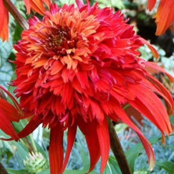 2016 Direct Selling Rushed Spring Sementes Echinacea 'hot Papaya' Flower Seeds, 20 Seeds / Pack, Rare Heirloom Fire Coneflower