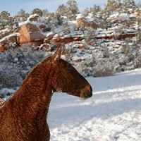 Missouri Foxtrotter named Curly Sue is available for adoption at Best Friends Sanctuary in Kanab, Utah