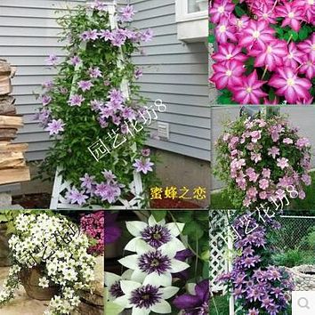 Vine Clematis potted clematis garden flowers seed, not clematis bulbs,10seed