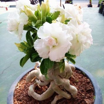 White Desert Rose Seeds Potted Flowers Seeds 100% True Seed Air Purification Home Garden Potted Flower 1 Pcs/Bag
