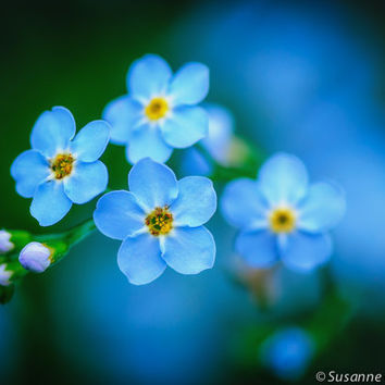 Flower Photography, Tiny Blue Forget-Me-Not, Fine Art Print, Photo Card, Summer Garden, Blue, Gift for Her, Home Decor