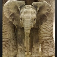 Professionally Framed Big Ears (Baby Elephant) Art Poster Print - 24x36 with RichAndFramous Black Wood Frame