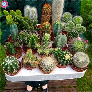 50pcs mixed cactus Real Prickly pear succulent plant Lithops bonsai planting for DIY home garden supplies potted