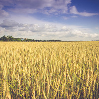 Rural Country Fields Landscape Photograph, Fine Art, Rustic Summer Art, Country Home Condo Decor