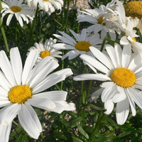 Heirloom 900 Seeds Annual Daisy White Flower Bulk Seeds S034