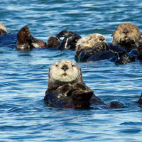 Sea Otter Photo Nature and Wildlife Photo Print Matted 8x10 Free Shipping 16x20 11x14 5x7