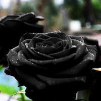 Blooming Black of Night Rose Bush Seeds30-seeds By Crazy Seed