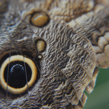 Brown Morpho Butterfly Black White Spots Yellow Owl Eye Macro