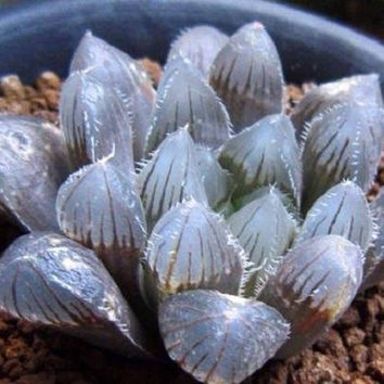 Haworthia obtusa Crystal Light Blue Transparent Succulent Bonsai Plants Seeds 5pcs Lovely Indoor Garden Home Bonsai