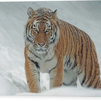 Tiger In Winter - Wood Print