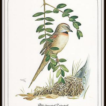 Bird Art Print 8 x 10 Pale Breasted Spinetail Wayne Trimm Artist Only 1 in Stock